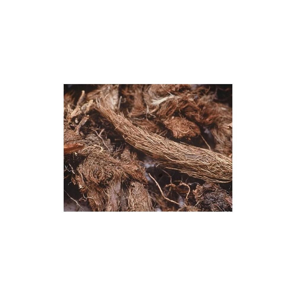 Jatamansi – Spikenard – nard – nardo – muskroot