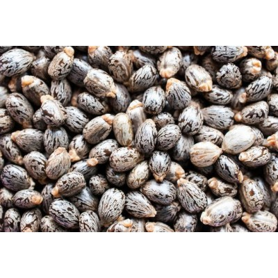 Castor Seeds – Arandi Seeds
